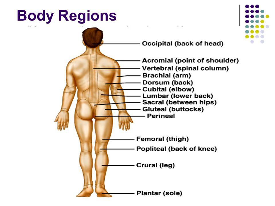 Nett Anatomy And Physiology Body Regions Fotos - Menschliche ...