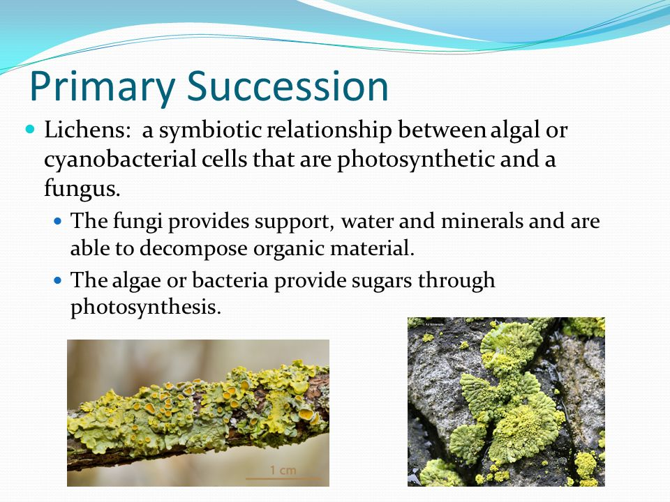Primary Succession Lichens: a symbiotic relationship between algal or cyanobacterial cells that are photosynthetic and a fungus.