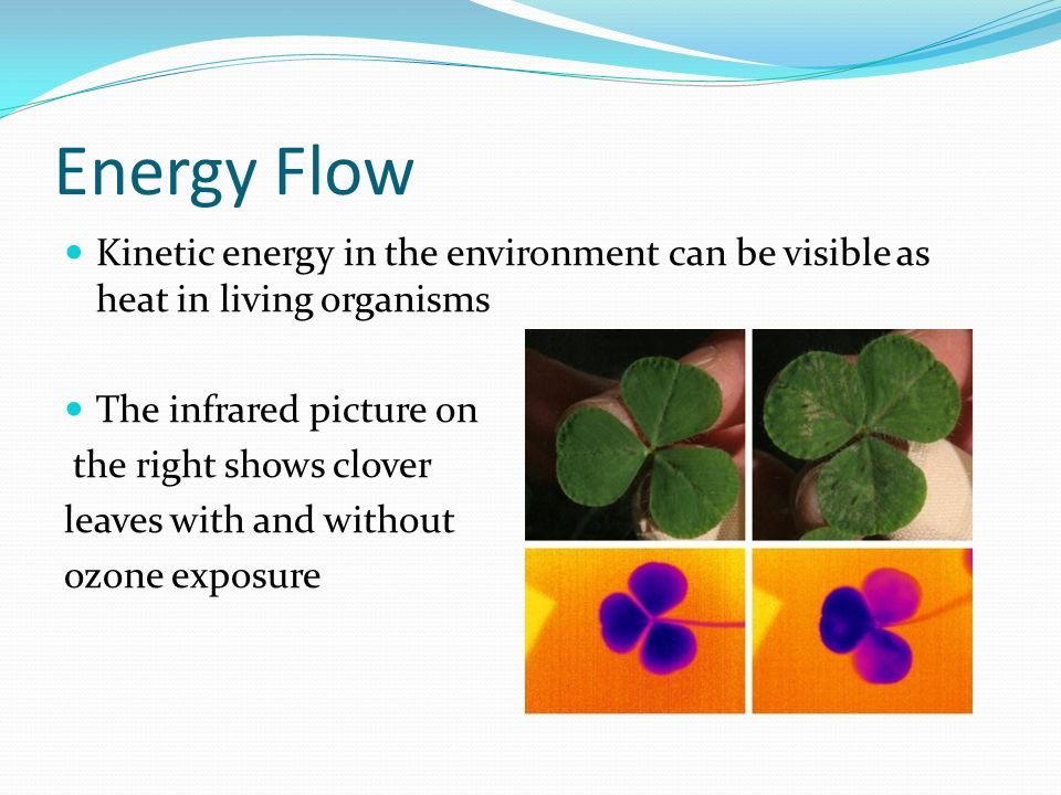 Energy Flow Kinetic energy in the environment can be visible as heat in living organisms The infrared picture on the right shows clover leaves with and without ozone exposure