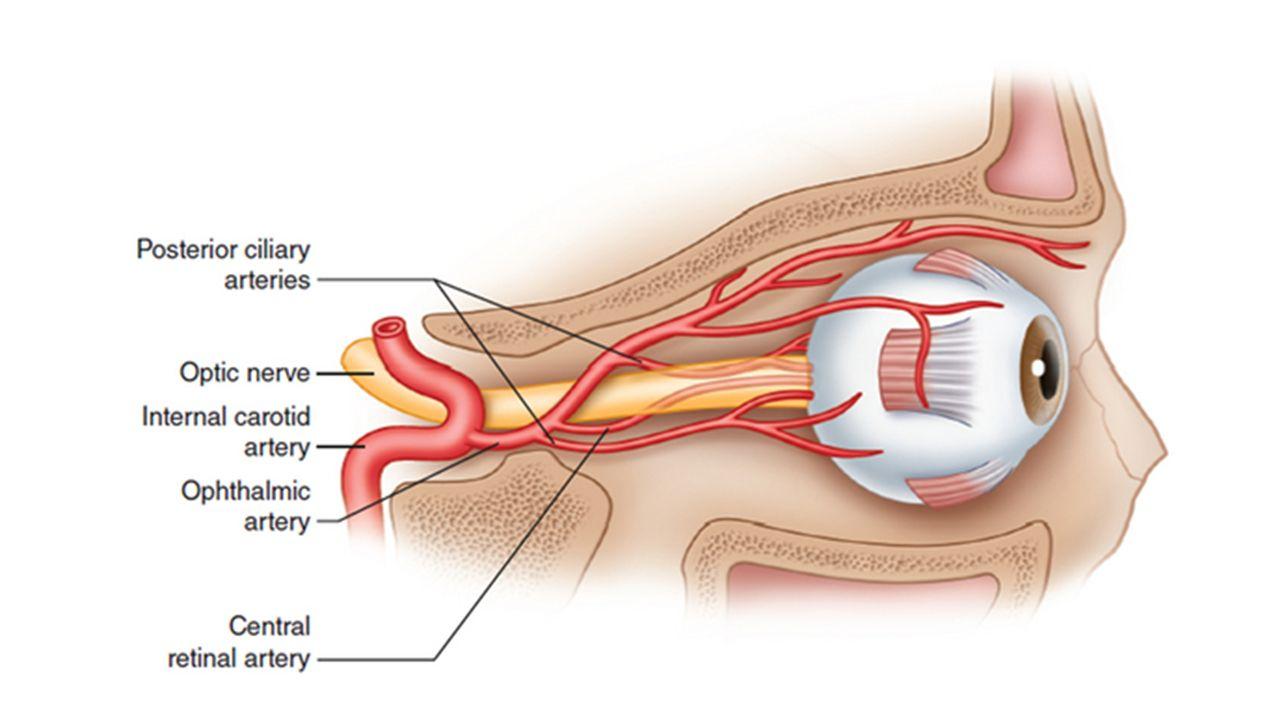 Anatomy of the internal carotid artery