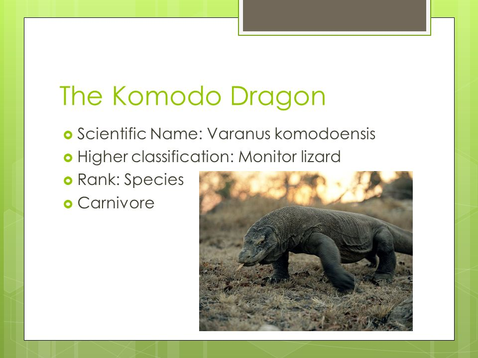 The Komodo Dragon  Scientific Name: Varanus komodoensis  Higher classification: Monitor lizard  Rank: Species  Carnivore