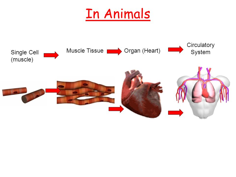 Cells tissues organs and organ systems resourcesks3 4 in animals single cell muscle muscle tissueorgan heart circulatory system ccuart Images