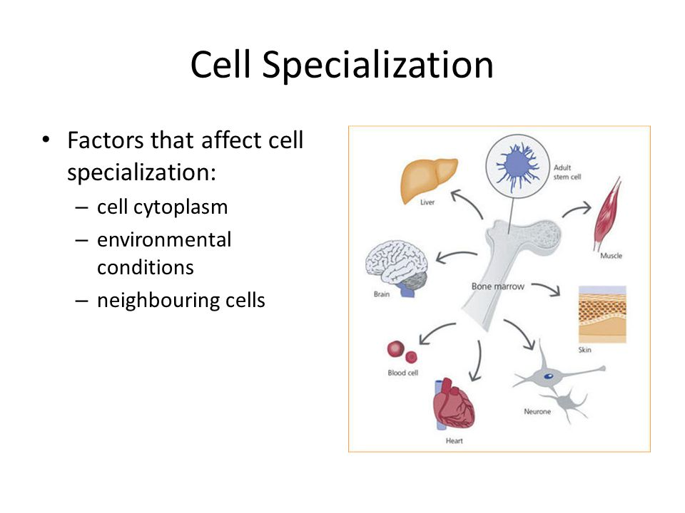 cells and cell specialization One example of cell specialization is the role of the white blood cell in immune function cell specialization occurs when a cell contains certain organelles or structures that allow it to perform a specific set of functions in an organism other types of cells that have specialized functions.