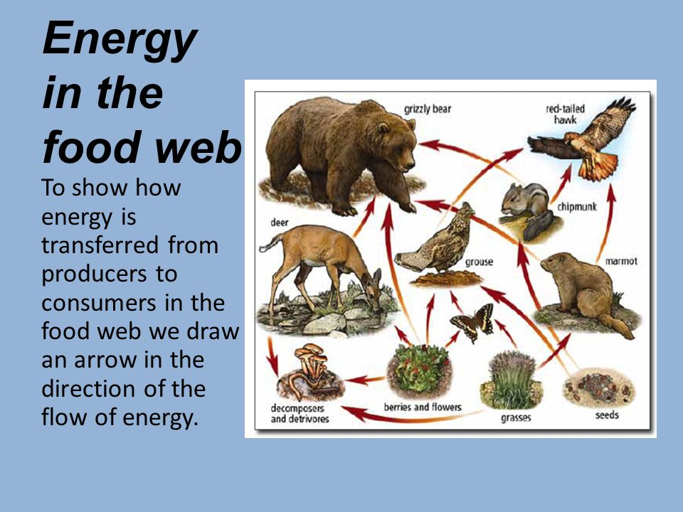 Energy in the food web To show how energy is transferred from producers to consumers in the food web we draw an arrow in the direction of the flow of energy.