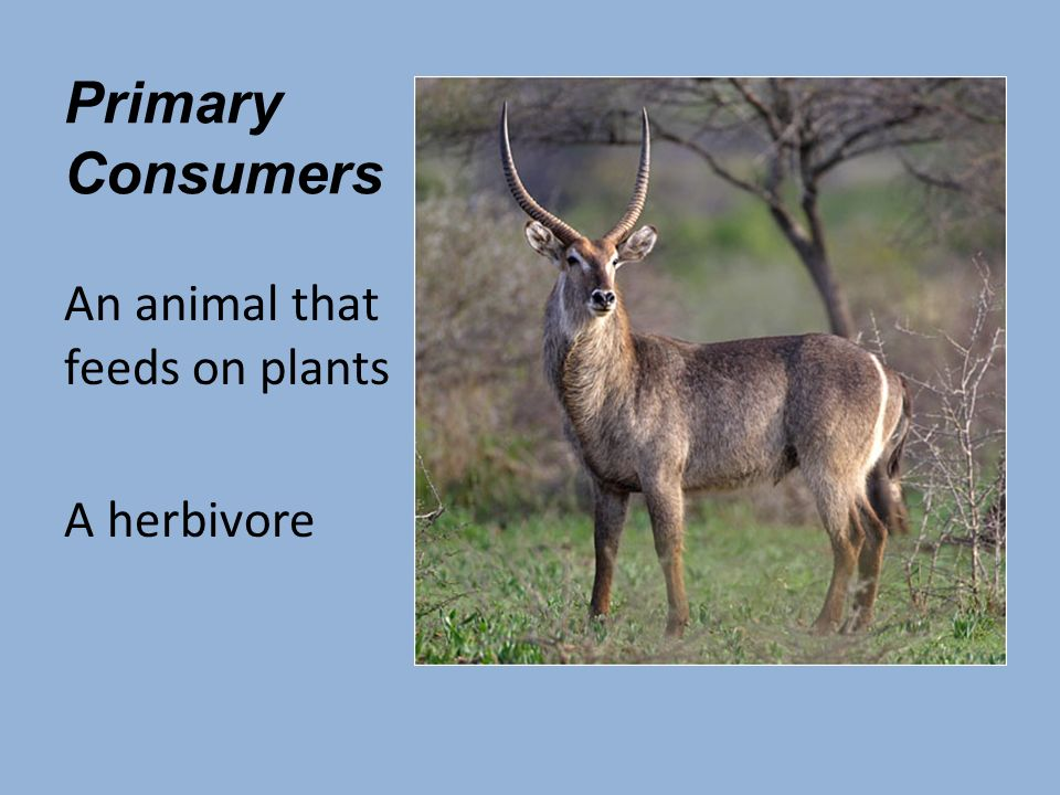 Primary Consumers An animal that feeds on plants A herbivore