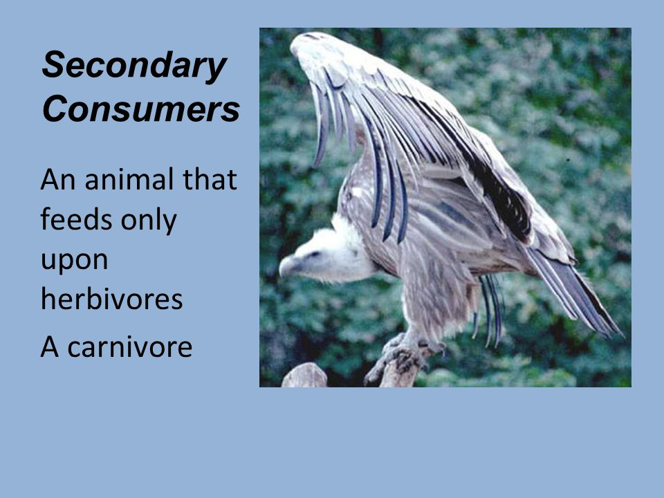 Secondary Consumers An animal that feeds only upon herbivores A carnivore