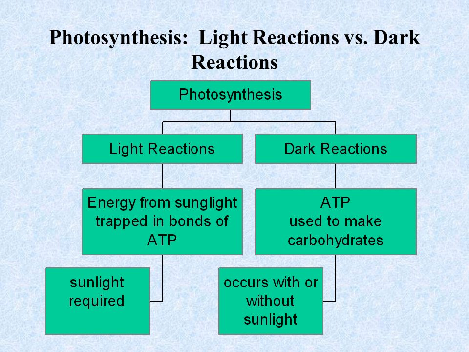 Structures of photosynthesis the light reactions the dark reactions 13 photosynthesis light reactions vs dark reactions ccuart Image collections