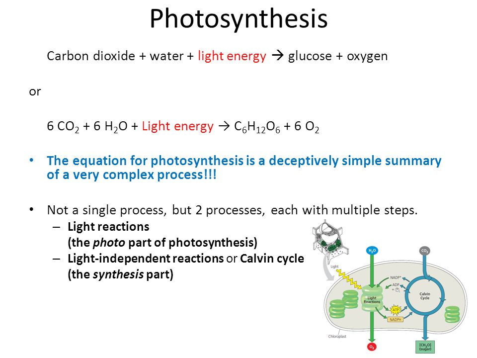 the steps of photosynthesis What are photosynthesis and respiration the following steps walk you through the photosynthesis process that occurs each time the sun's light reaches the.