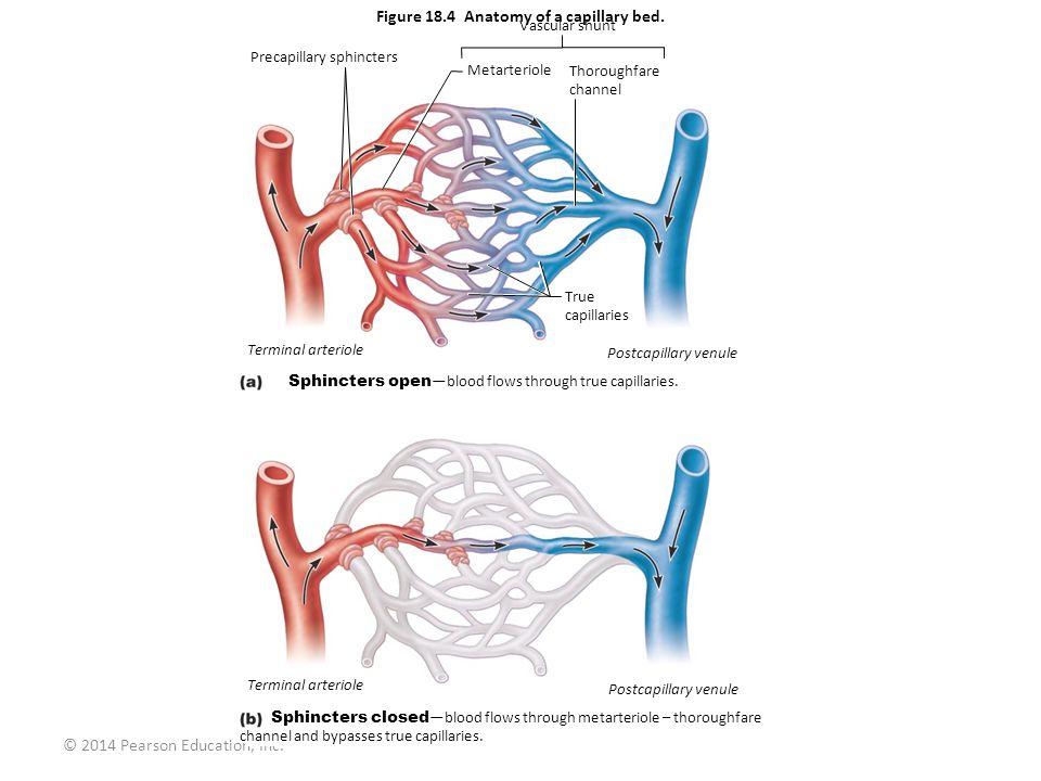 © 2014 Pearson Education, Inc. Figure 18.4 Anatomy of a capillary bed. Vascular shunt Precapillary sphincters Metarteriole Thoroughfare channel Termin