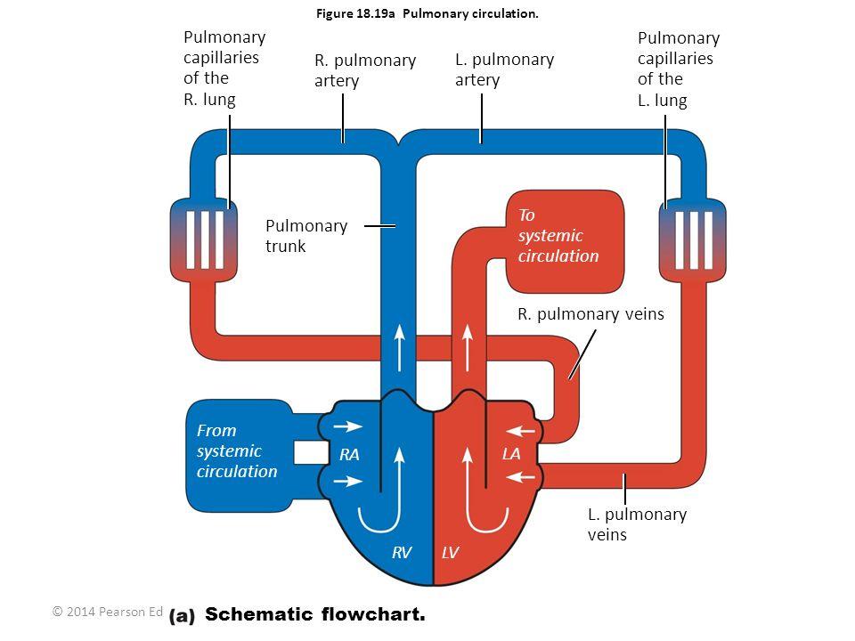 © 2014 Pearson Education, Inc. Figure 18.19a Pulmonary circulation. Pulmonary capillaries of the R. lung R. pulmonary artery L. pulmonary artery Pulmo