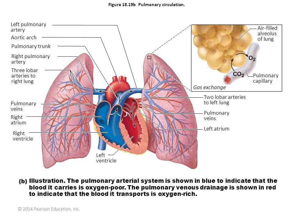 © 2014 Pearson Education, Inc. Figure 18.19b Pulmonary circulation. Left pulmonary artery Aortic arch Pulmonary trunk Right pulmonary artery Three lob