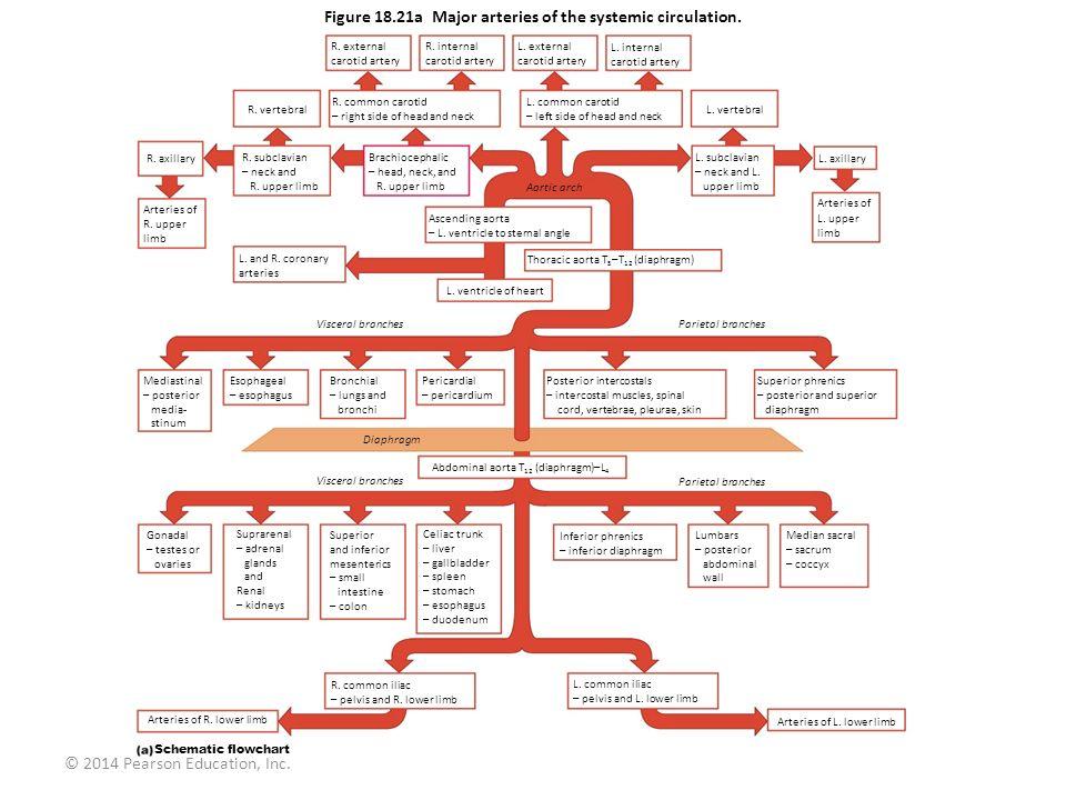 © 2014 Pearson Education, Inc. Figure 18.21a Major arteries of the systemic circulation. R. external carotid artery R. internal carotid artery L. exte