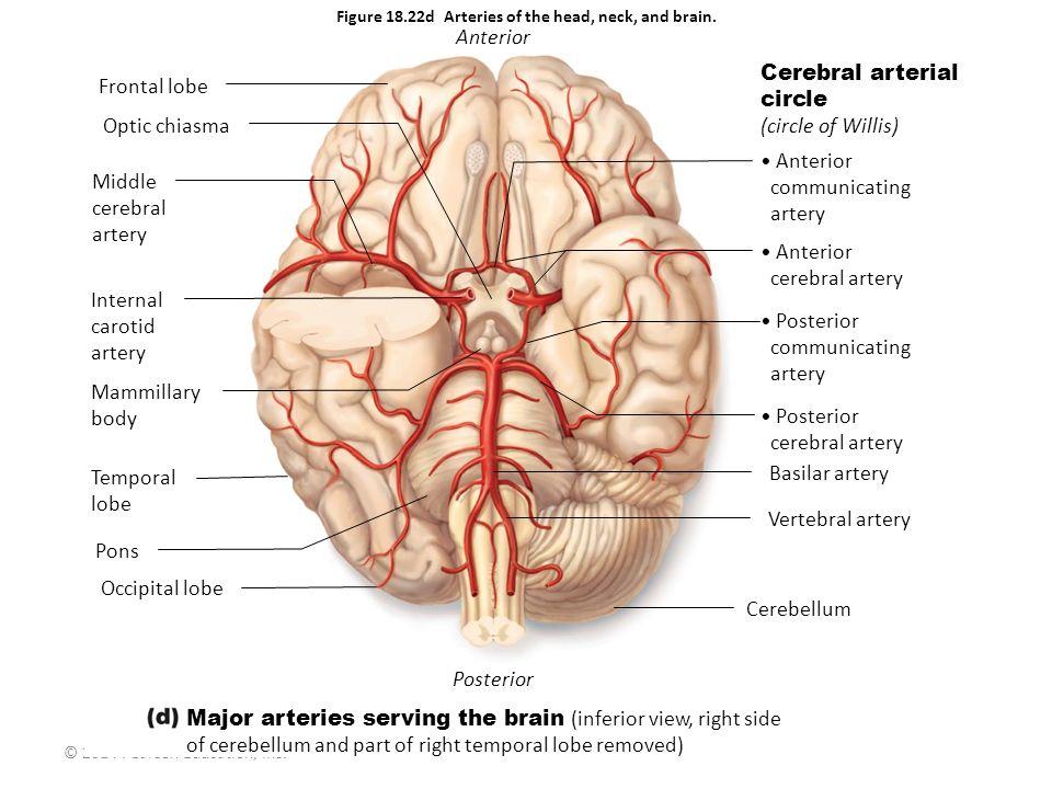 © 2014 Pearson Education, Inc. Cerebral arterial circle (circle of Willis) Anterior communicating artery Posterior communicating artery Posterior cere