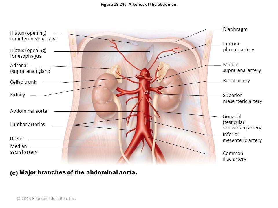 © 2014 Pearson Education, Inc. Figure 18.24c Arteries of the abdomen. Hiatus (opening) for inferior vena cava Hiatus (opening) for esophagus Adrenal (