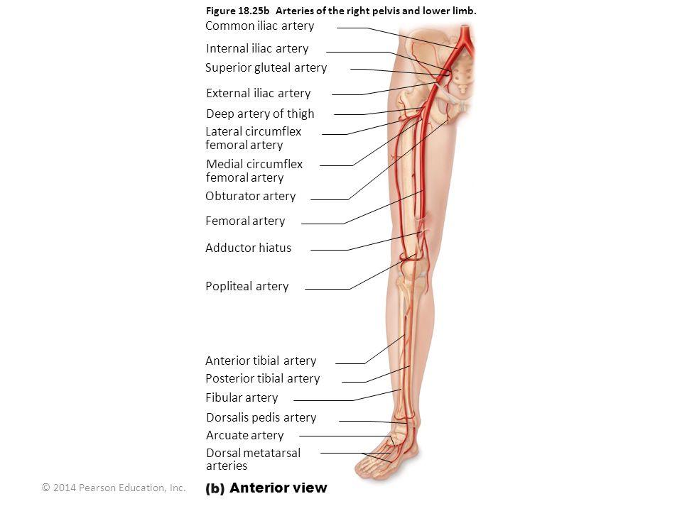 © 2014 Pearson Education, Inc. Figure 18.25b Arteries of the right pelvis and lower limb. Common iliac artery Internal iliac artery Superior gluteal a