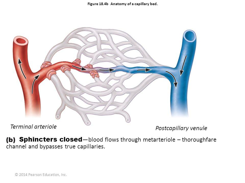 © 2014 Pearson Education, Inc. Figure 18.4b Anatomy of a capillary bed. Terminal arteriole Postcapillary venule Sphincters closed —blood flows through