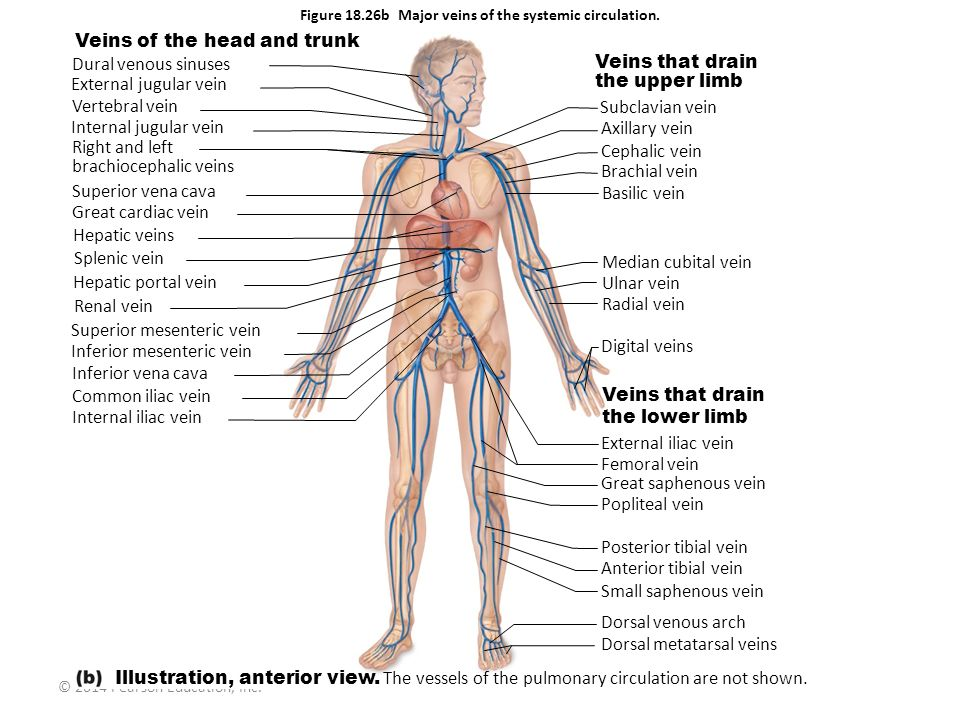 © 2014 Pearson Education, Inc. Figure 18.26b Major veins of the systemic circulation. Veins of the head and trunk Dural venous sinuses External jugula