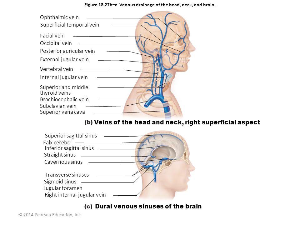 © 2014 Pearson Education, Inc. Ophthalmic vein Superficial temporal vein Facial vein Occipital vein Posterior auricular vein External jugular vein Ver
