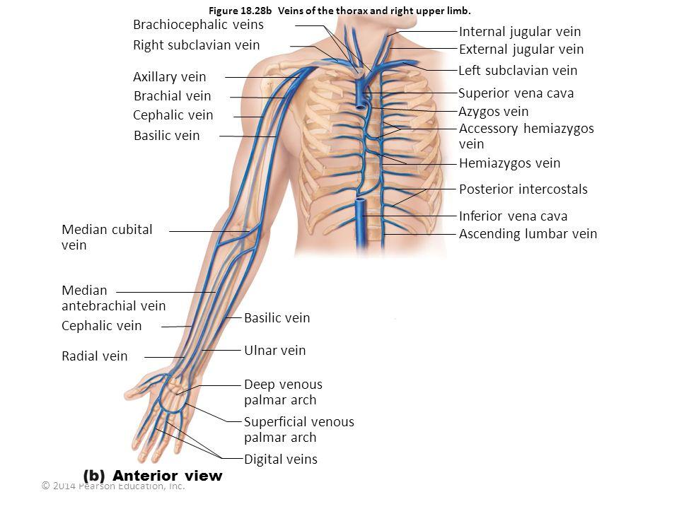 © 2014 Pearson Education, Inc. Figure 18.28b Veins of the thorax and right upper limb. Brachiocephalic veins Right subclavian vein Axillary vein Brach