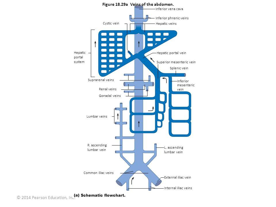 © 2014 Pearson Education, Inc. Figure 18.29a Veins of the abdomen. Inferior vena cava Inferior phrenic veins Hepatic veins Hepatic portal vein Superio