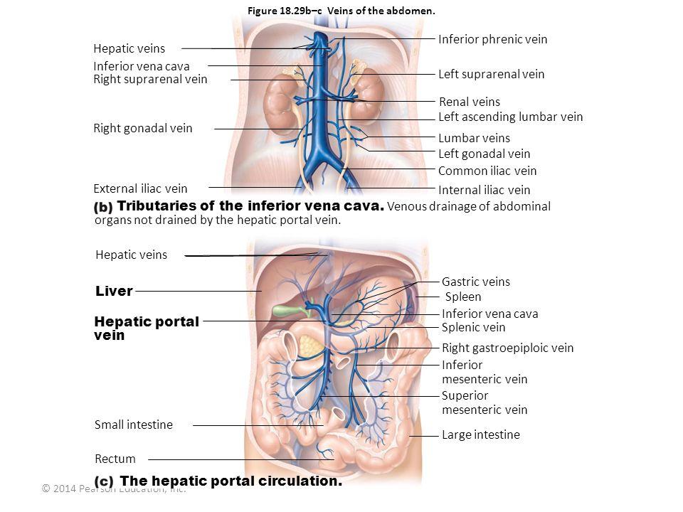 © 2014 Pearson Education, Inc. Figure 18.29b–c Veins of the abdomen. Hepatic veins Inferior vena cava Right suprarenal vein Right gonadal vein Externa