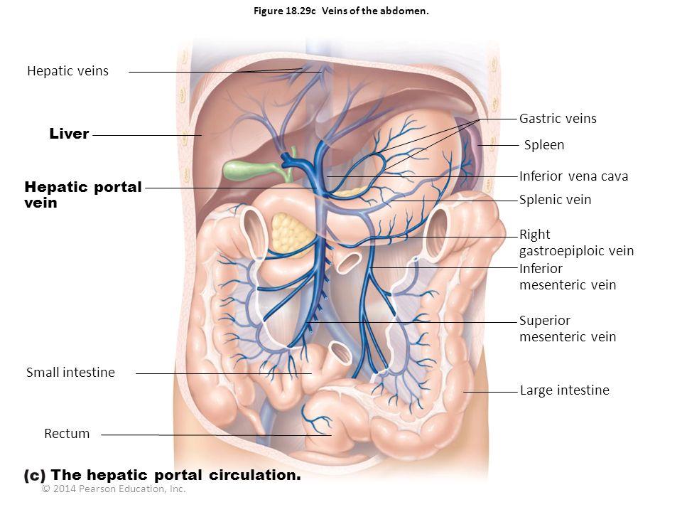 © 2014 Pearson Education, Inc. Figure 18.29c Veins of the abdomen. Hepatic veins Liver Hepatic portal vein Small intestine Rectum Gastric veins Spleen