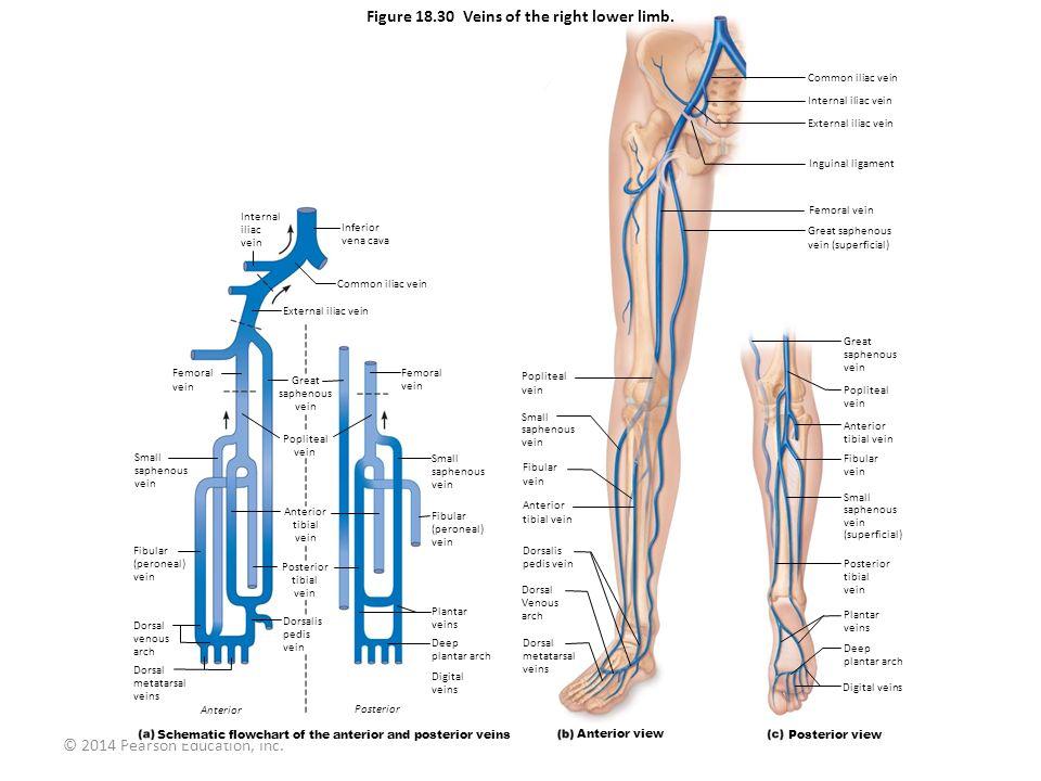 © 2014 Pearson Education, Inc. Figure 18.30 Veins of the right lower limb. Internal iliac vein Femoral vein Small saphenous vein Fibular (peroneal) ve