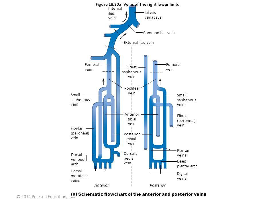 © 2014 Pearson Education, Inc. Figure 18.30a Veins of the right lower limb. Internal iliac vein Femoral vein Small saphenous vein Fibular (peroneal) v