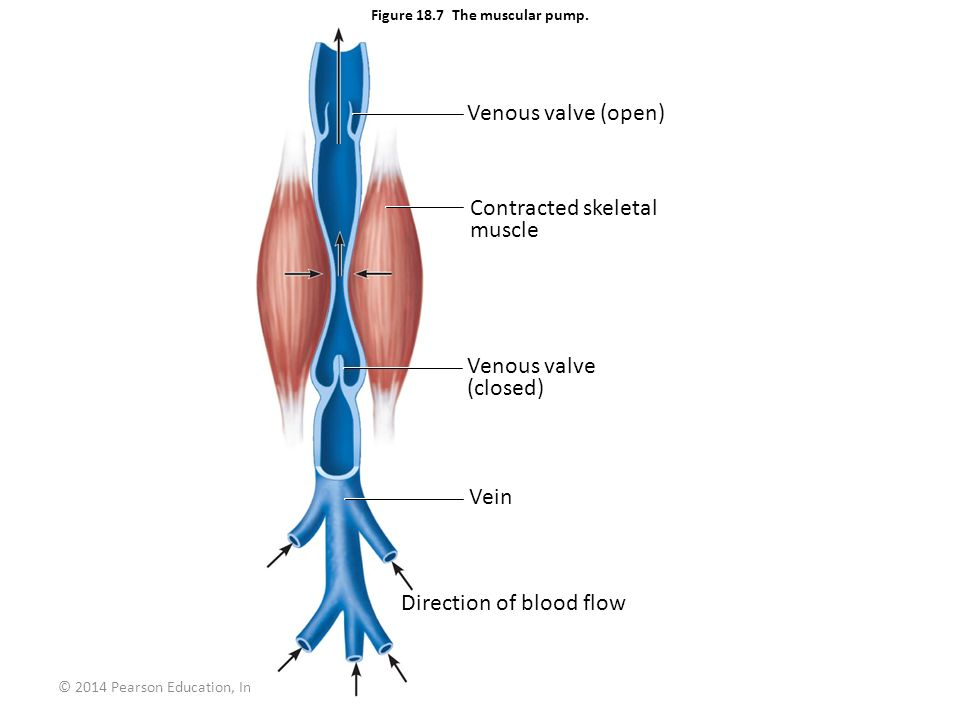 © 2014 Pearson Education, Inc. Figure 18.7 The muscular pump. Venous valve (open) Contracted skeletal muscle Venous valve (closed) Vein Direction of b