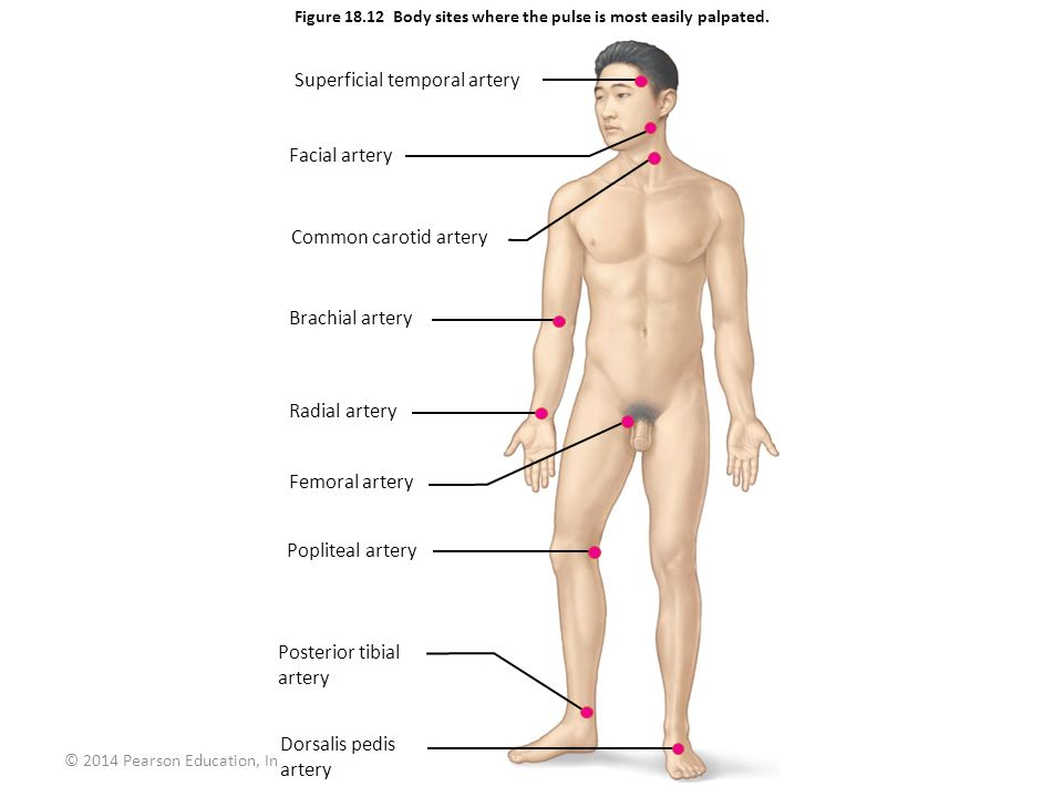 © 2014 Pearson Education, Inc. Figure 18.12 Body sites where the pulse is most easily palpated. Superficial temporal artery Facial artery Common carot