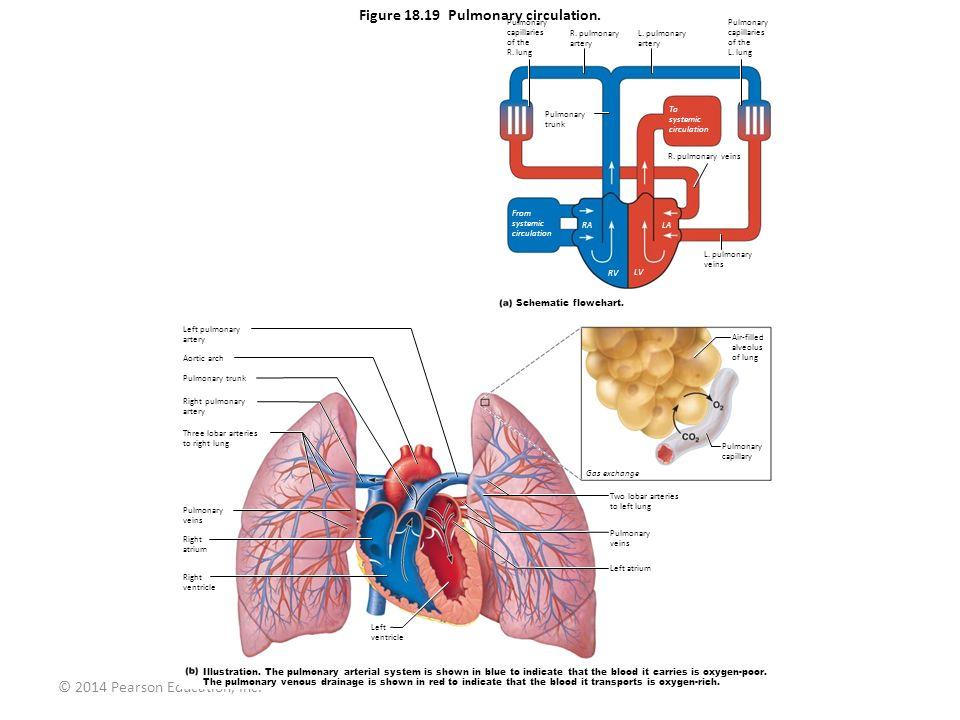 © 2014 Pearson Education, Inc. Figure 18.19 Pulmonary circulation. Pulmonary capillaries of the R. lung R. pulmonary artery L. pulmonary artery Pulmon