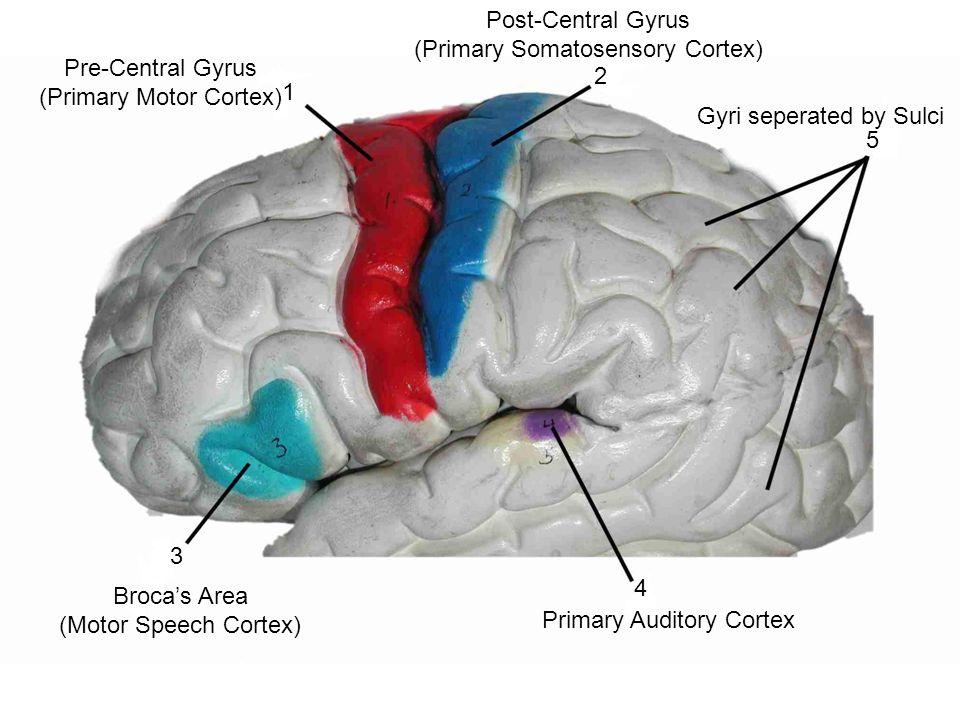 cerebrum central sulcus occipital lobe cerebellum medulla, Human Body