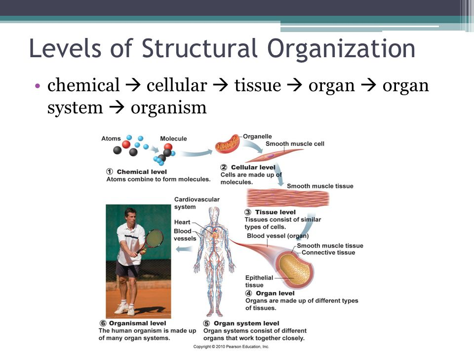 a level tissues Tissue level– tissues are groups of similar cells that have a common function a tissue must contain two different types of cells the four basic tissue types in humans include epithelium, connective, muscle, and nervous tissue each tissue has a characteristic role within the human body which we will discuss later.