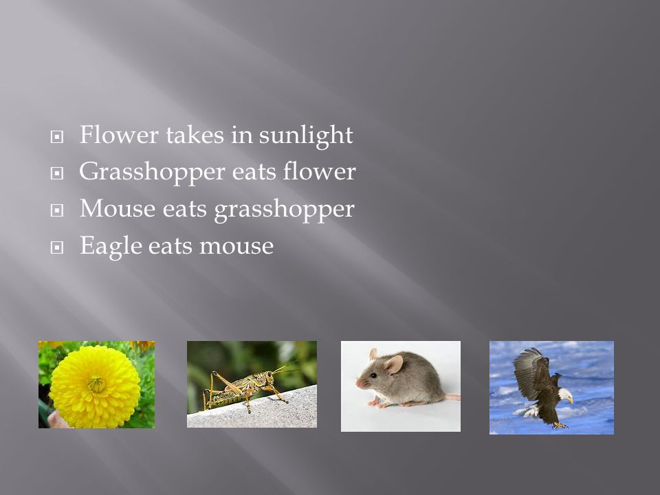  Flower takes in sunlight  Grasshopper eats flower  Mouse eats grasshopper  Eagle eats mouse