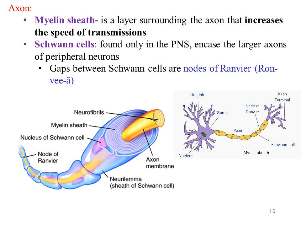 10 Axon: Myelin sheath- is a layer surrounding the axon that increases the speed of transmissions Schwann cells: found only in the PNS, encase the larger axons of peripheral neurons Gaps between Schwann cells are nodes of Ranvier (Ron- vee-ā)