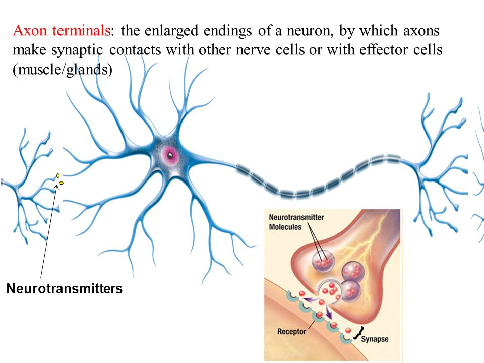 Neurotransmitters Axon terminals: the enlarged endings of a neuron, by which axons make synaptic contacts with other nerve cells or with effector cells (muscle/glands)