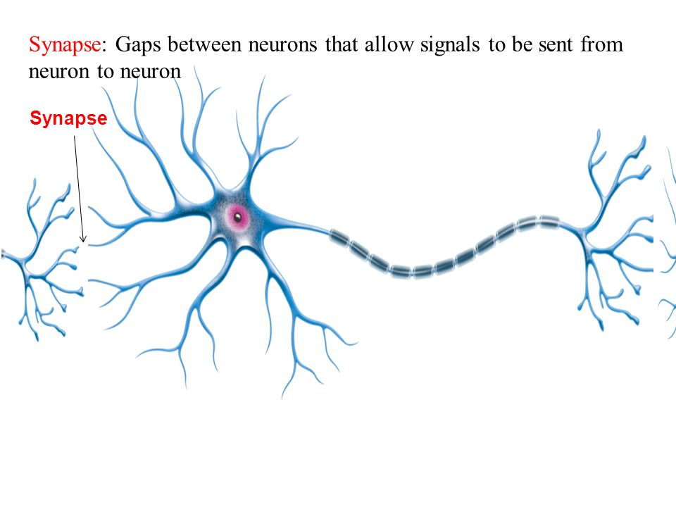 Synapse Synapse: Gaps between neurons that allow signals to be sent from neuron to neuron