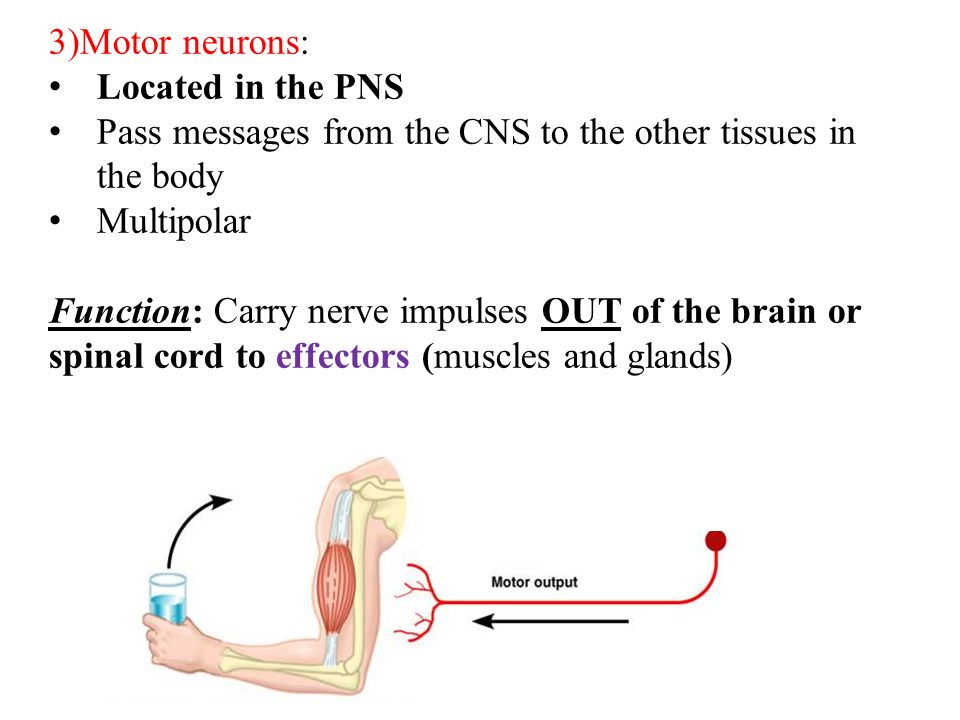 37 3)Motor neurons: Located in the PNS Pass messages from the CNS to the other tissues in the body Multipolar Function: Carry nerve impulses OUT of the brain or spinal cord to effectors (muscles and glands)
