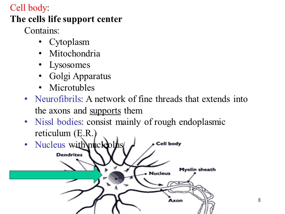 8 Cell body: The cells life support center Contains: Cytoplasm Mitochondria Lysosomes Golgi Apparatus Microtubles Neurofibrils: A network of fine threads that extends into the axons and supports them Nissl bodies: consist mainly of rough endoplasmic reticulum (E.R.) Nucleus with nucleolus