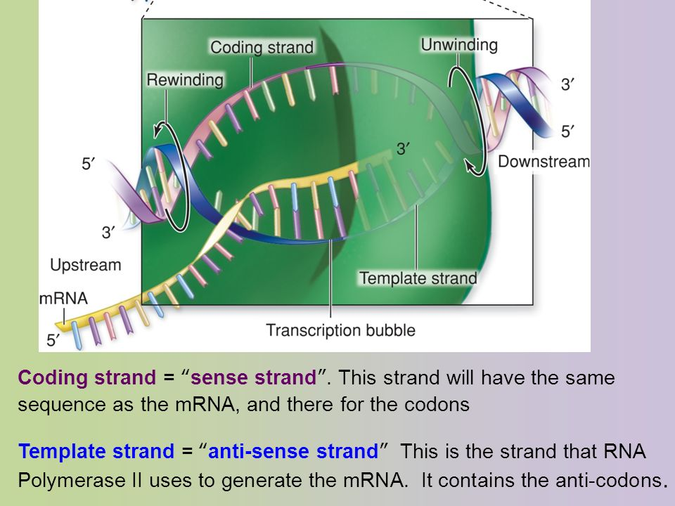 Gene Translation Is The Synthesis Of A Protein Or An Rna Structure From Mrna Strand Performed By Ribosome And Takes Place In Cytosol I E