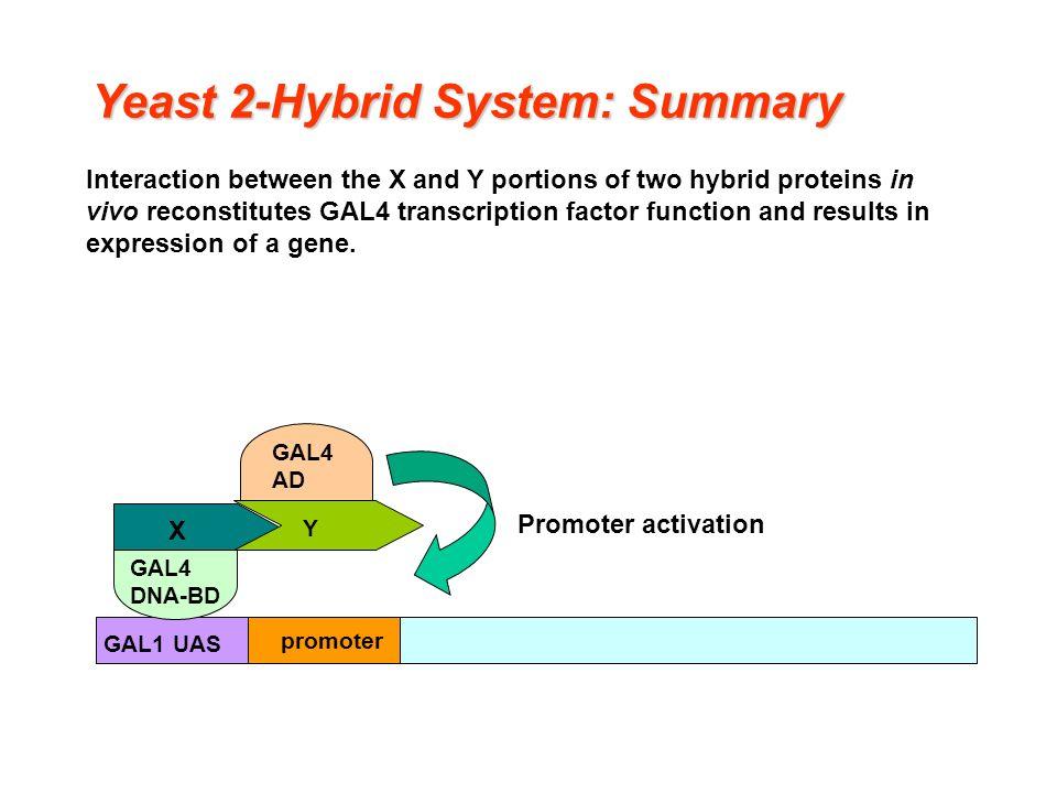 yeast two hybrid
