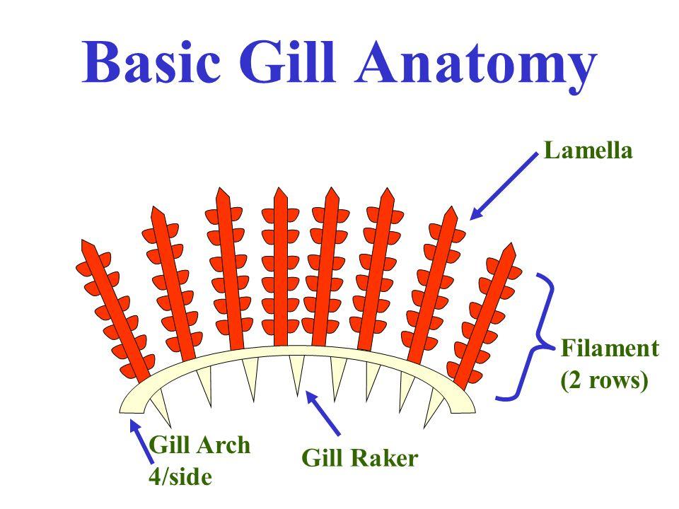Basic Gill Anatomy Lamella Filament 2 Rows Gill Raker Gill Arch 4