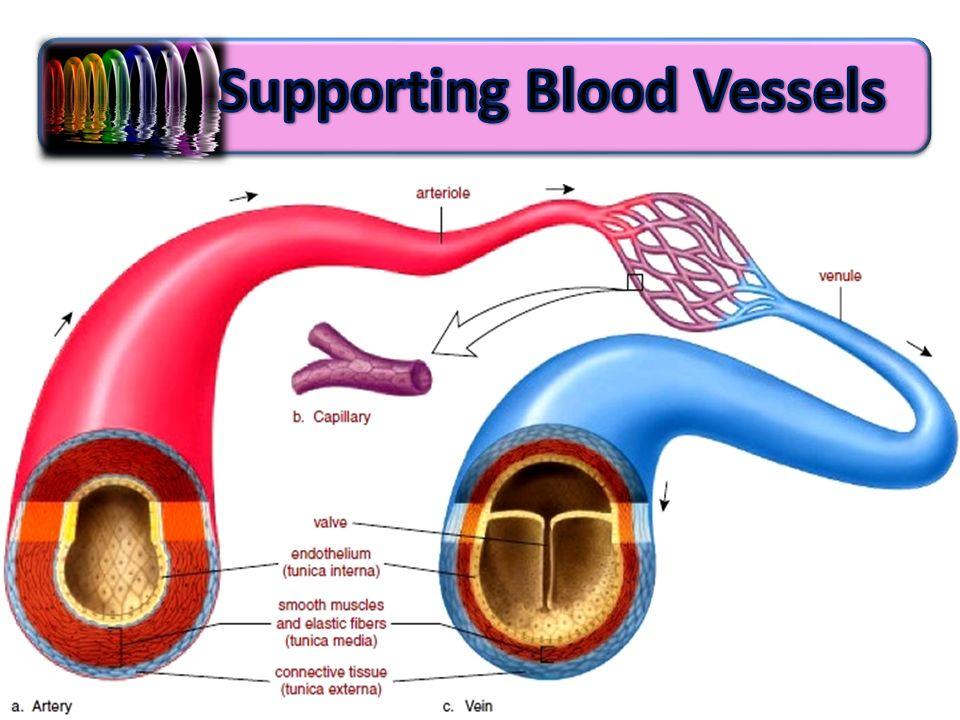 Foundation year Cardiovascular system T :sanaa abdel hamed. - ppt ...