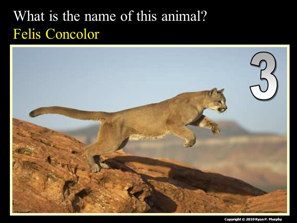 What is the name of this animal Felis Concolor Copyright © 2010 Ryan P. Murphy