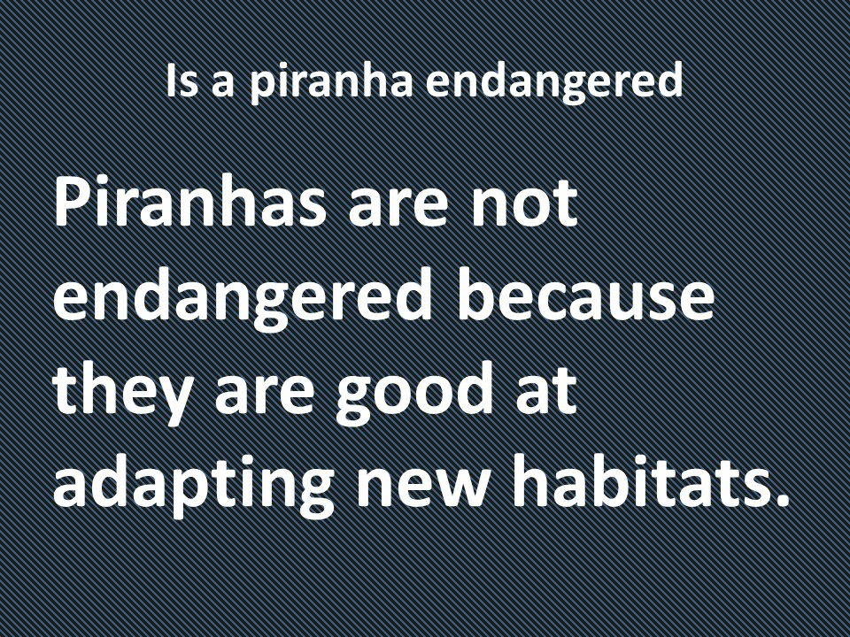 Is a piranha endangered Piranhas are not endangered because they are good at adapting new habitats.