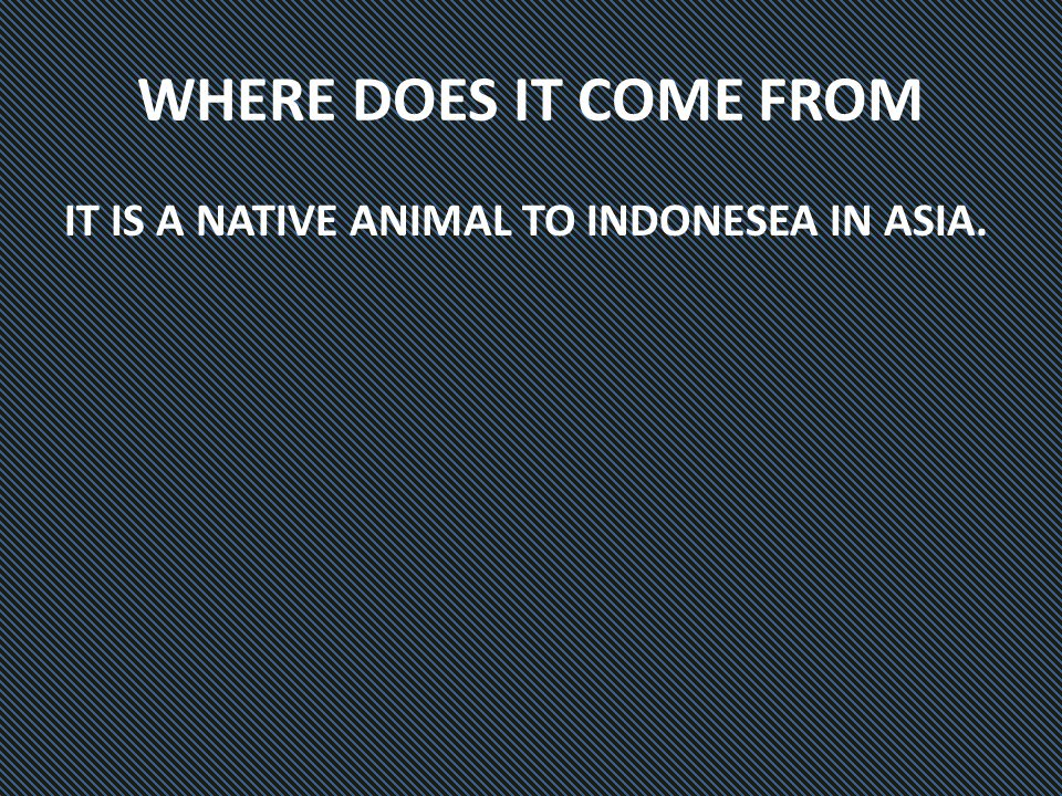 WHERE DOES IT COME FROM IT IS A NATIVE ANIMAL TO INDONESEA IN ASIA.