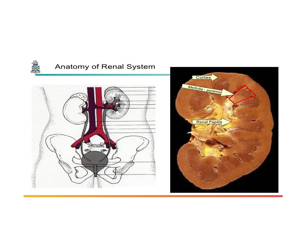 Kidney Disorders Renal Anatomy Renal Function Test Congenital And