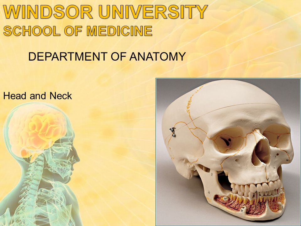 Head And Neck Department Of Anatomy Bones Of The Skull The Skull
