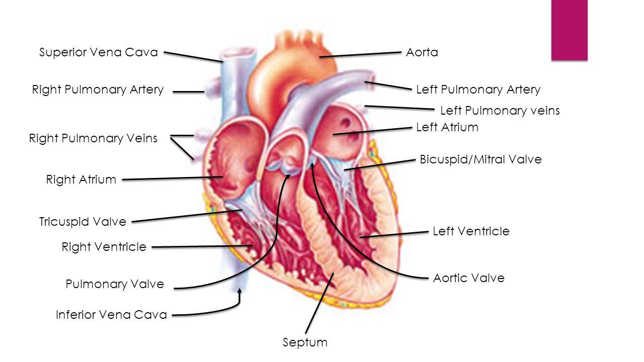 Pulmonary arteries anatomy 3855330 - follow4more.info
