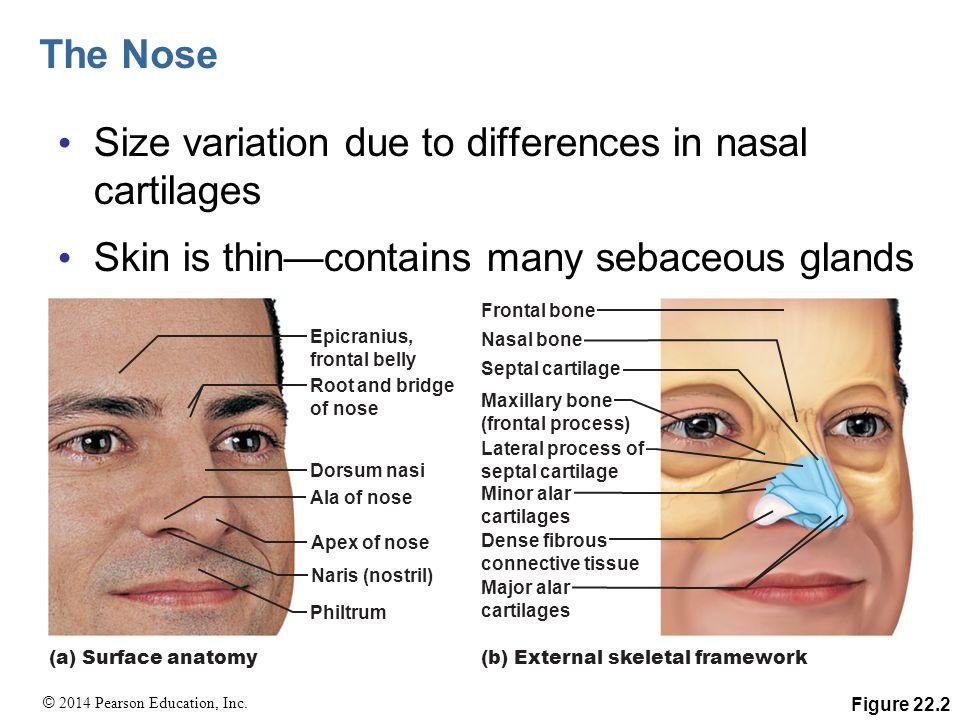 Nice Surface Anatomy Of Head Motif - Human Anatomy Images ...